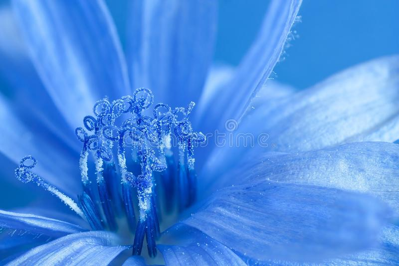 Blue chicory. And its pollen stock photography