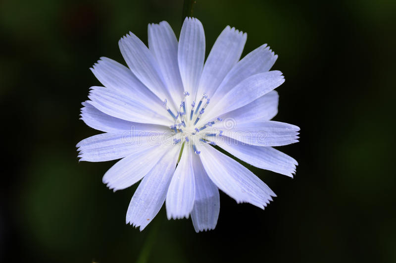 Blue Chicory Flower. Close-up of a blue chicory flower stock images