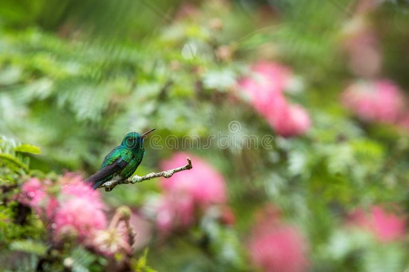 Blue-chinned Sapphire sitting on branch in garden with pink mimosa flowers in background, bird from caribean tropical forest. Trinidad and Tobago, tiny royalty free stock photos