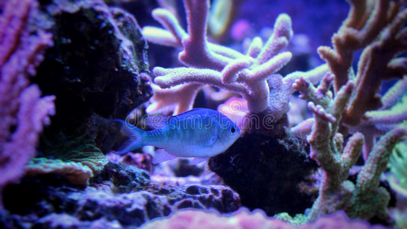Blue chromis stock image