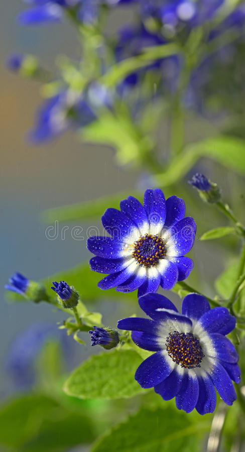 Blue cineraria flowers. In garden royalty free stock image