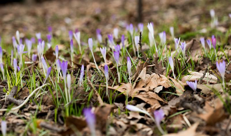 Close-up of beautiful Flowering Crocus Flowers in Spring. View of Blooming Crocuses on a Meadow in the Morning Light. Lilac Crocus royalty free stock images