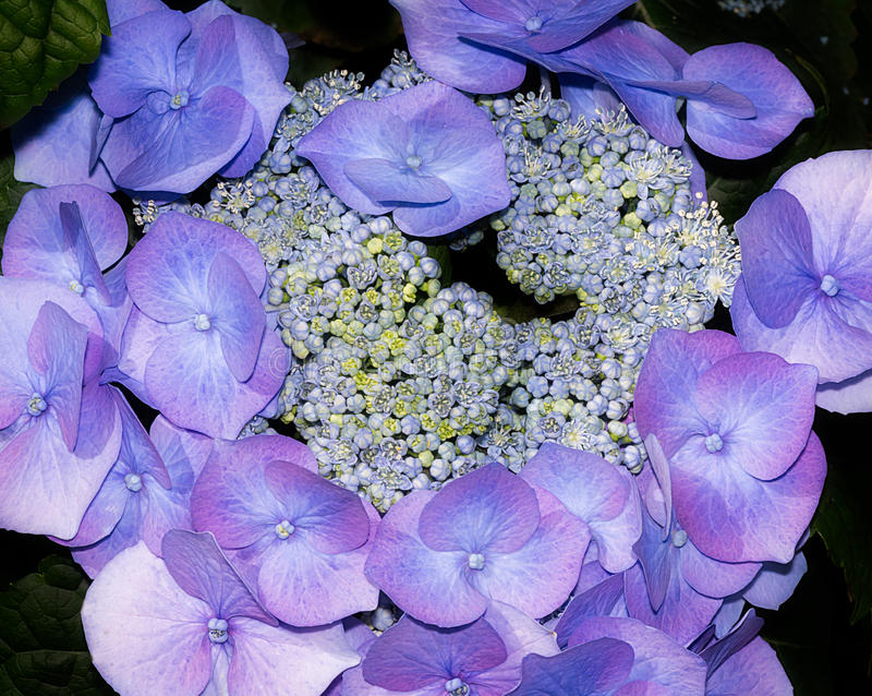 Blue cluster of garden flowers royalty free stock images