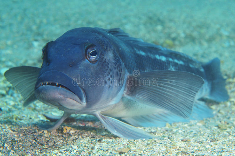 Blue cod on sand royalty free stock photos