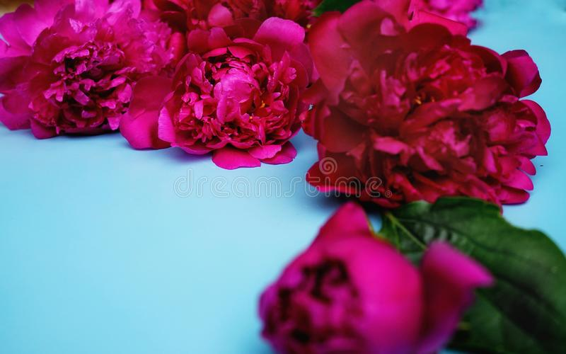 blue color backgrounds red peony close-up day flowers garden stock photos