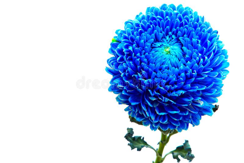 Blue color chrysanthemum flower close up. Close up of a beautiful and elegant blue color chrysanthemum flower  isolated on white royalty free stock photography