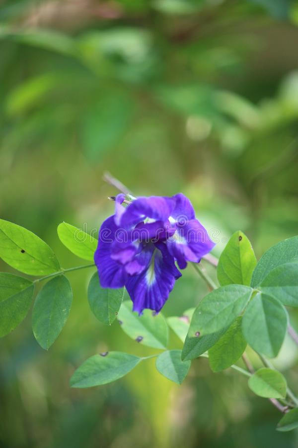 Blue color flower with green leafs. Blue color small flower image. This image quality is high royalty free stock photo