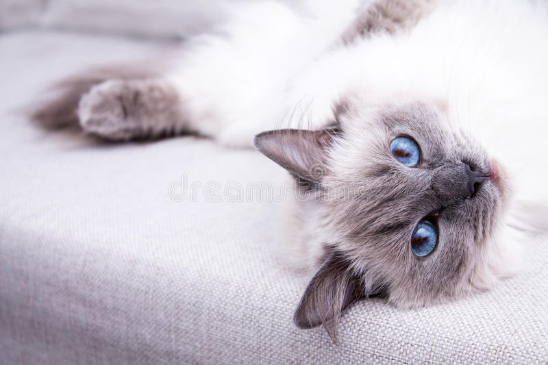 Blue colorpoint Ragdoll cat lying on the couch.  royalty free stock images