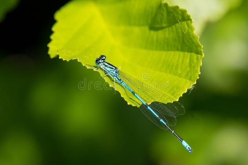 A blue coloured damselfly sitting on a leave. royalty free stock images
