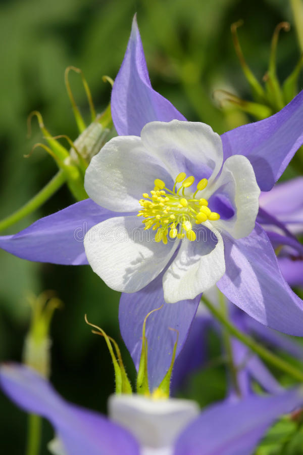 Free Blue Columbine Flower Royalty Free Stock Images - 12403959