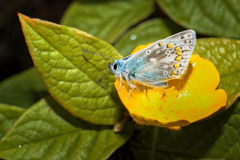 Blue common butterfly sitting on yellow flower by the green leaves. Blue common butterfly on yellow flower stock photo