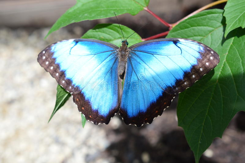 Blue Common Morpho Butterfly. This photo was taken at botanical garden in Illinois royalty free stock photo
