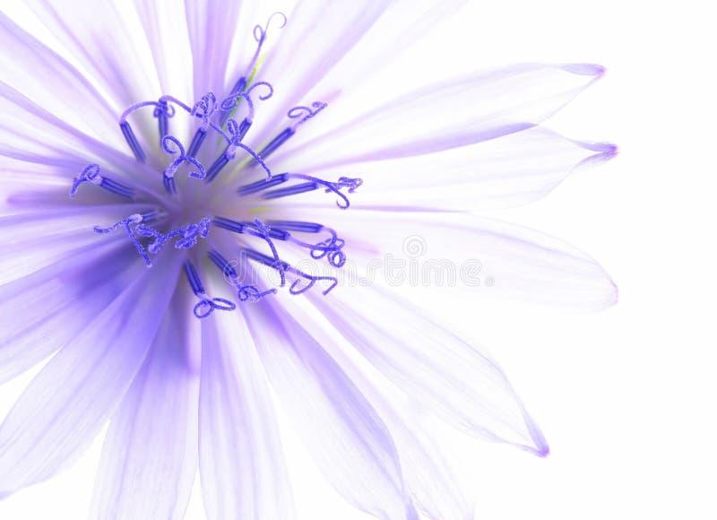 Blue corn flower stock images