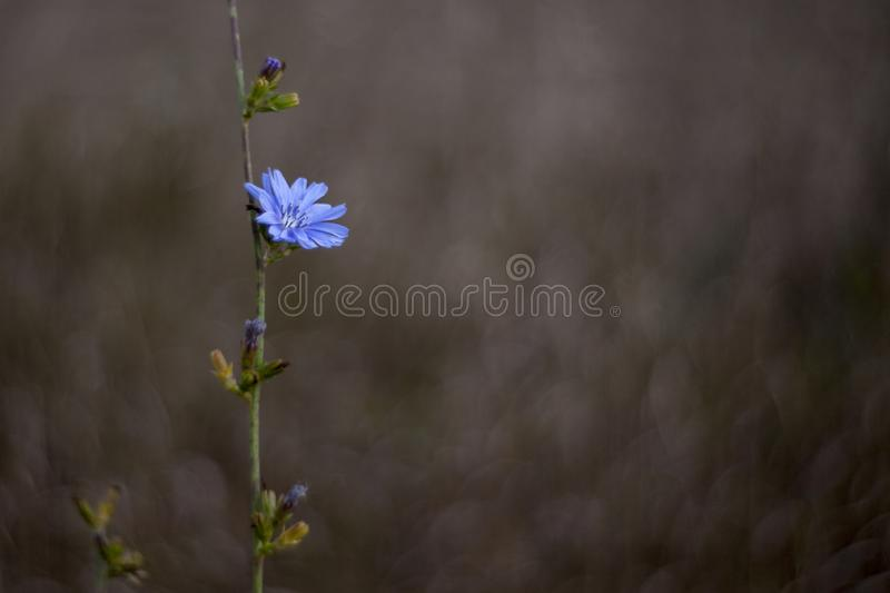 Blue corn flower with bokeh stock images