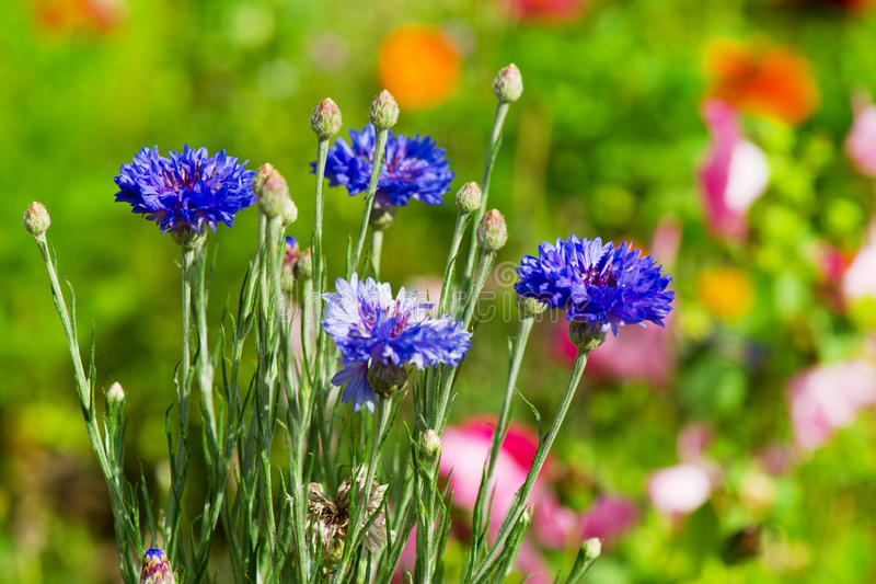 Download Blue corn flowers stock photo. Image of orange, outdoor - 21122672