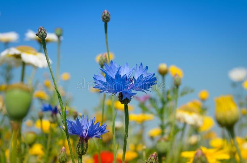 Blue Cornflower stock photo