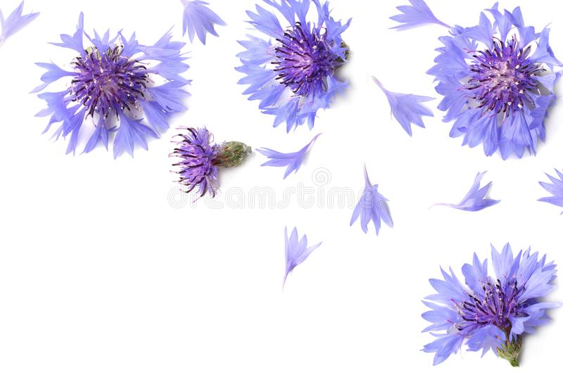 Blue cornflower. Cyanus segetum isolated on white background. Top view royalty free stock photography