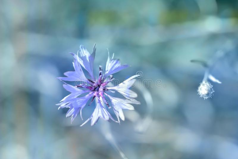Blue cornflower. Blue, bluish single flower of cornflower royalty free stock photo