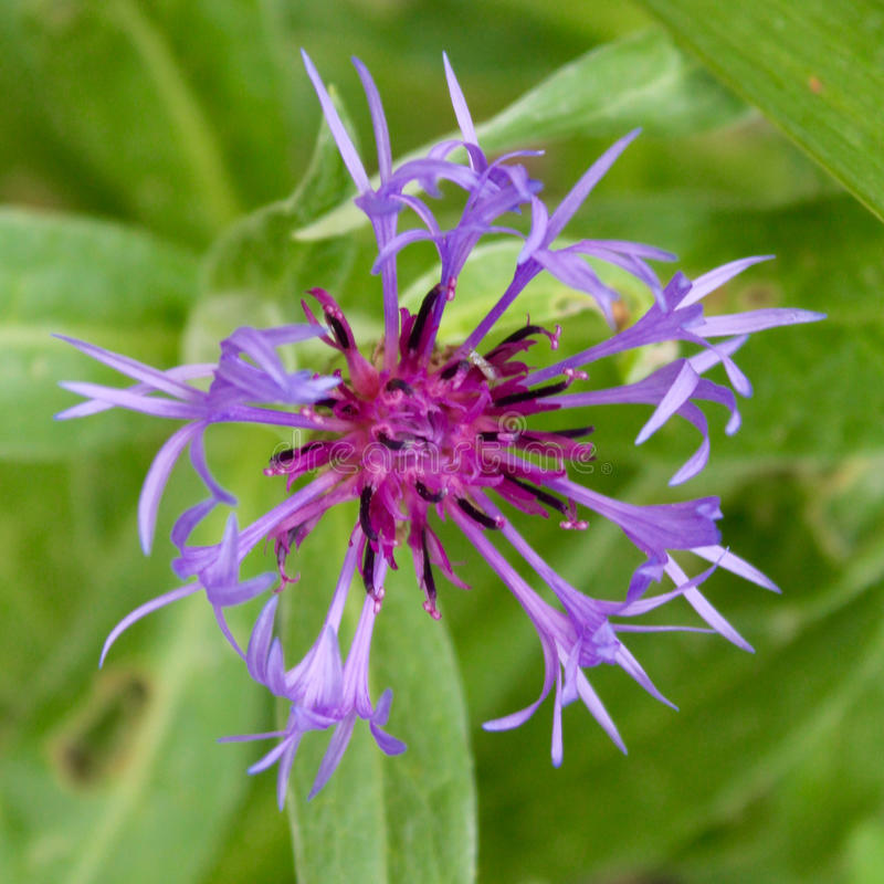 Download Blue Cornflower Stock Photo - Image: 74326641
