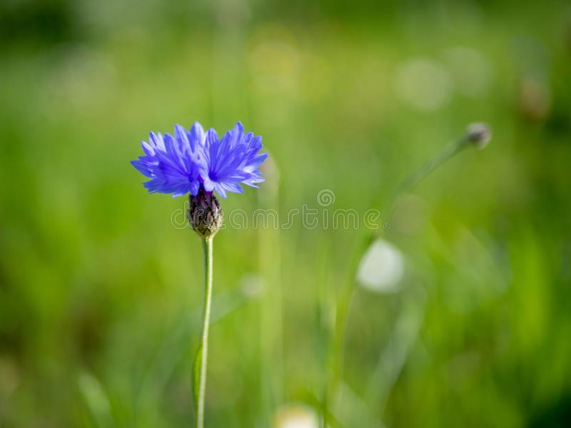 Blue cornflower in a field, isolated with a blurry background. stock photography