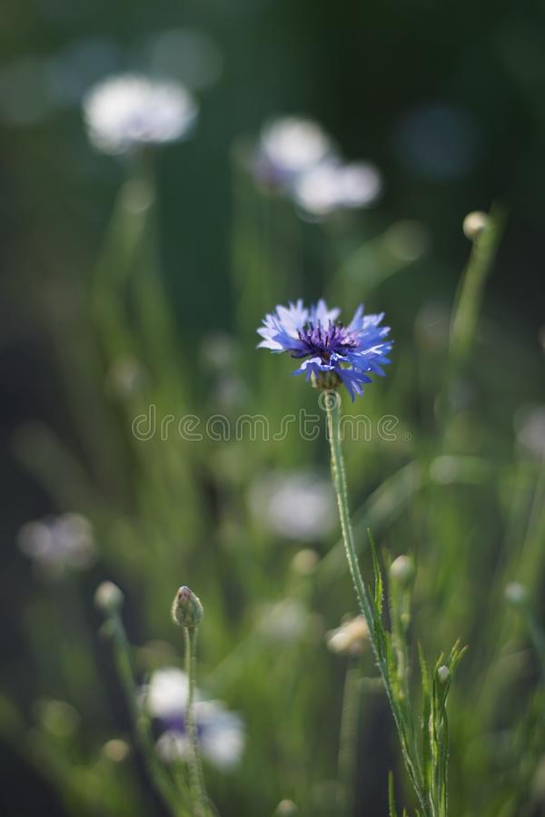 Blue cornflower flower on a sunny meadow close-up.  royalty free stock images