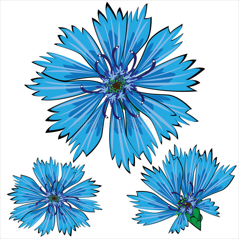 Blue cornflower flowers isolated on white stock illustration