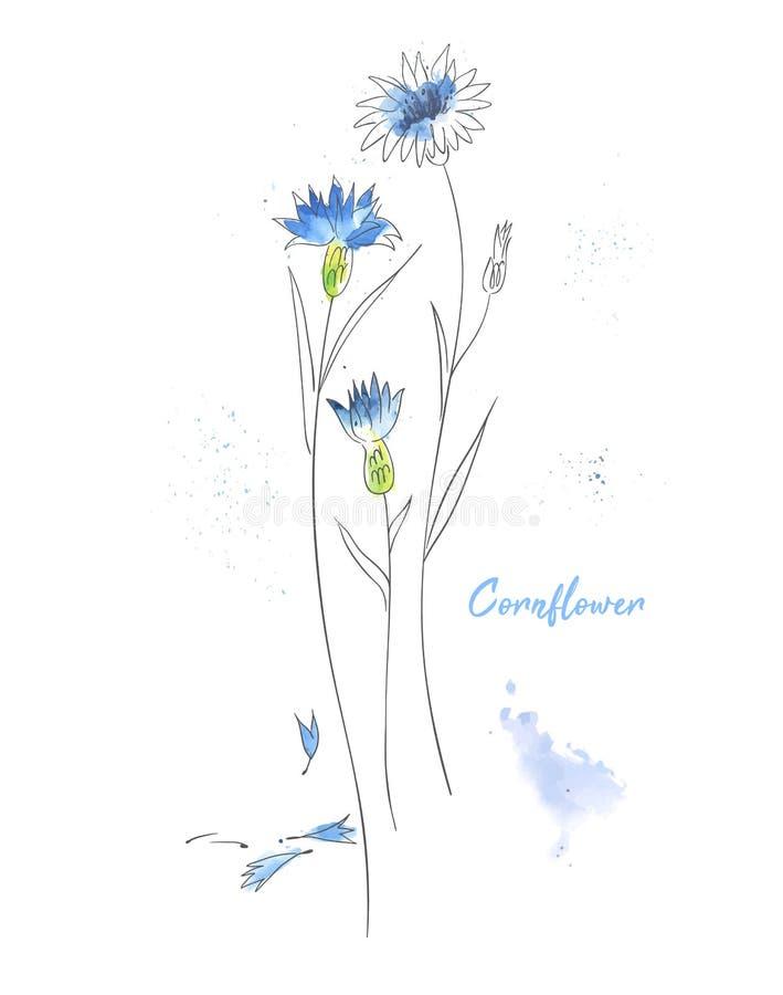 Blue cornflower hand drawn watercolor illustration. Wildflower aquarelle paint drawing. royalty free illustration