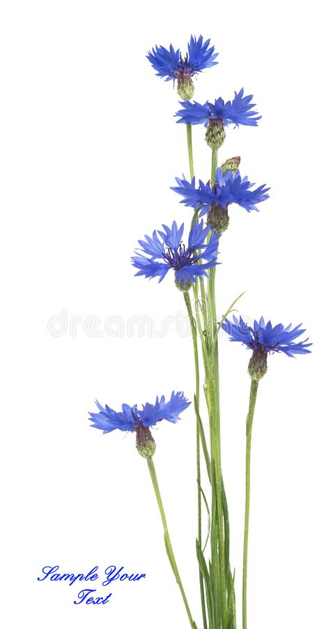 Blue Cornflower Herb or bachelor button flower bouquet isolated on white background stock photo