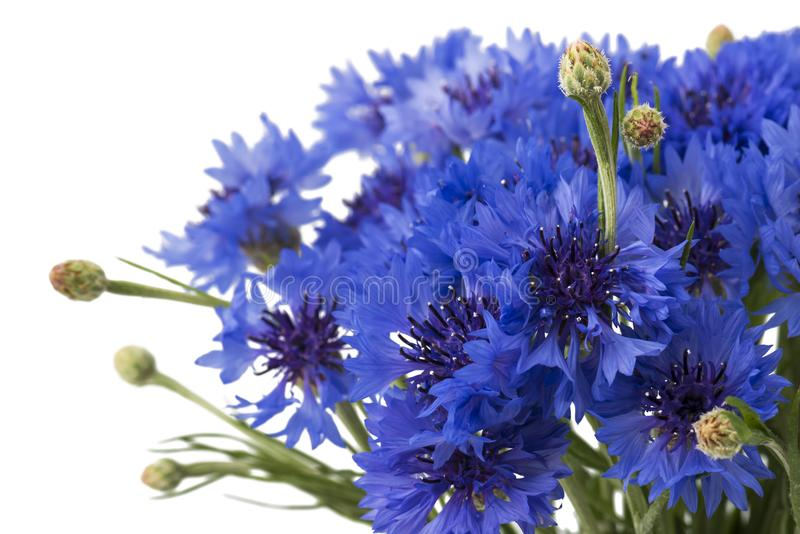 Blue Cornflower Herb or bachelor button flower bouquet isolated on white background royalty free stock images