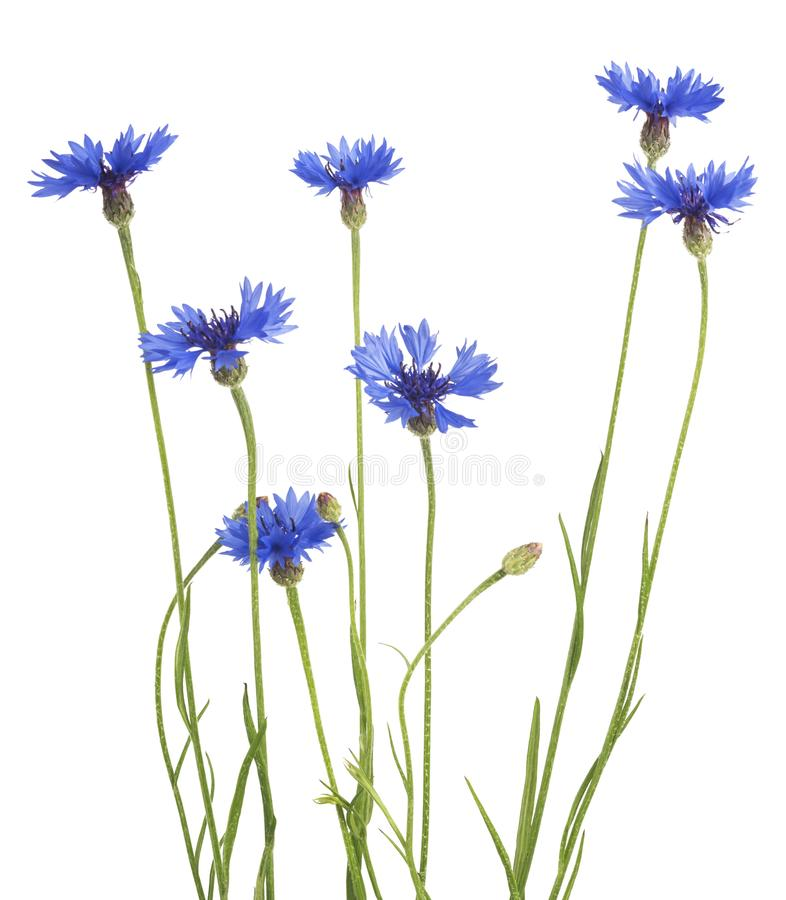 Blue Cornflower Herb or bachelor button flower bouquet isolated on white background.  stock image