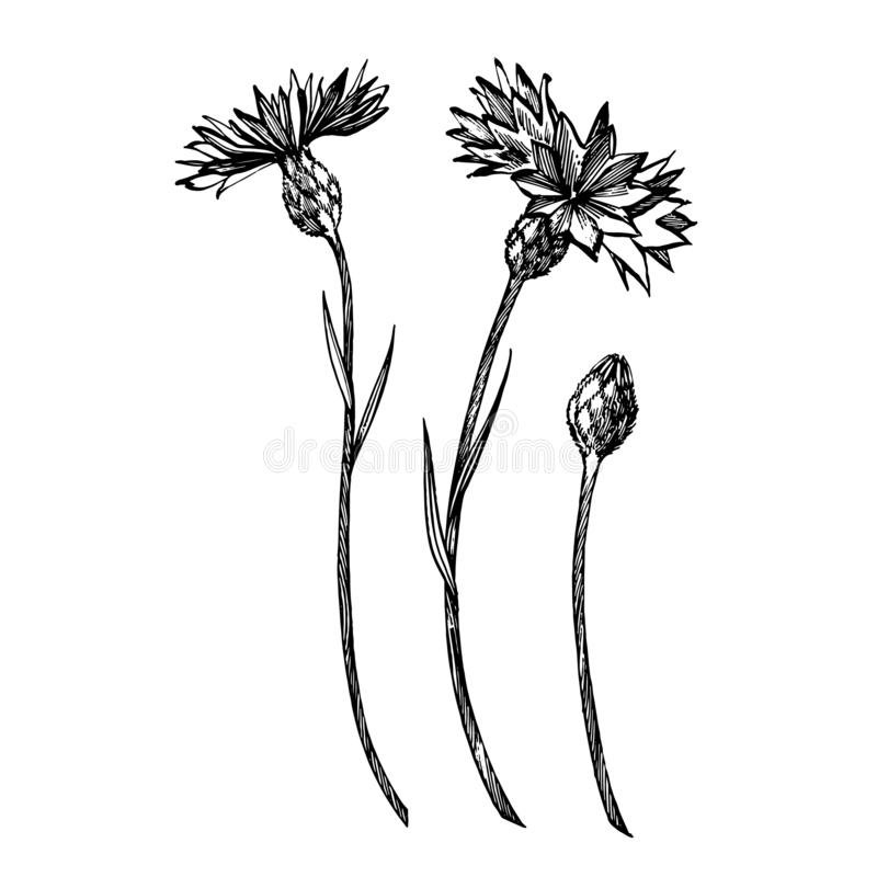 Blue Cornflower Herb or bachelor button flower bouquet isolated on white background. Set of drawing cornflowers, floral. Elements, hand drawn botanical vector illustration