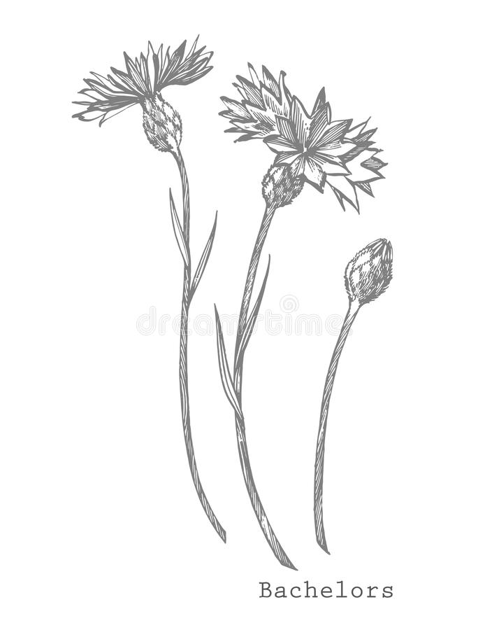 Blue Cornflower Herb or bachelor button flower bouquet isolated on white background. Set of drawing cornflowers, floral. Elements, hand drawn botanical stock illustration