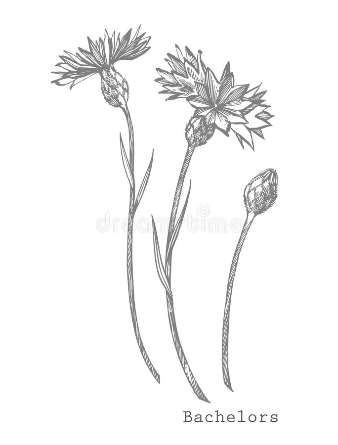 Blue Cornflower Herb or bachelor button flower bouquet isolated on white background. Set of drawing cornflowers, floral elements,. Hand drawn botanical stock illustration