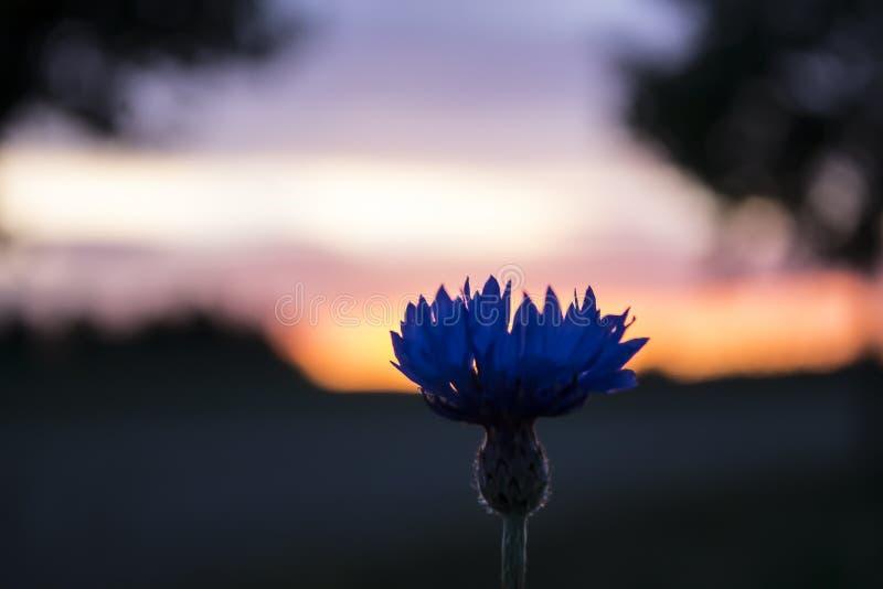 Blue Cornflower in the orange horizon stock photos