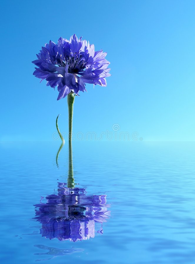 Blue cornflower in water. Blue cornflower reflected in water royalty free stock image