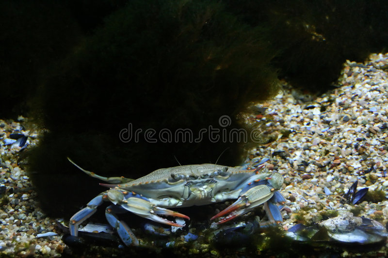 Blue crab stock photography