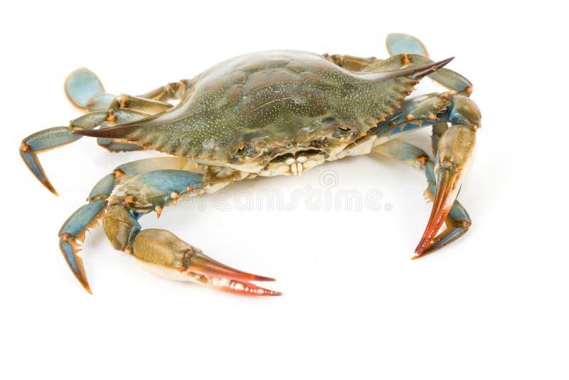 Blue Crab stock image