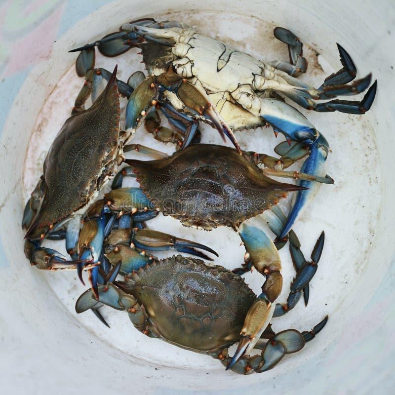 Blue crab bucket stock photo