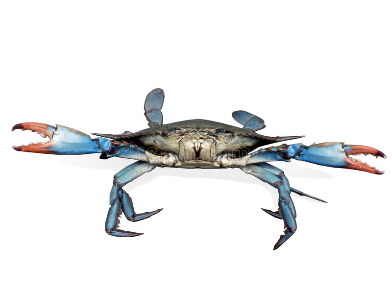Blue crab in fight pose royalty free stock images