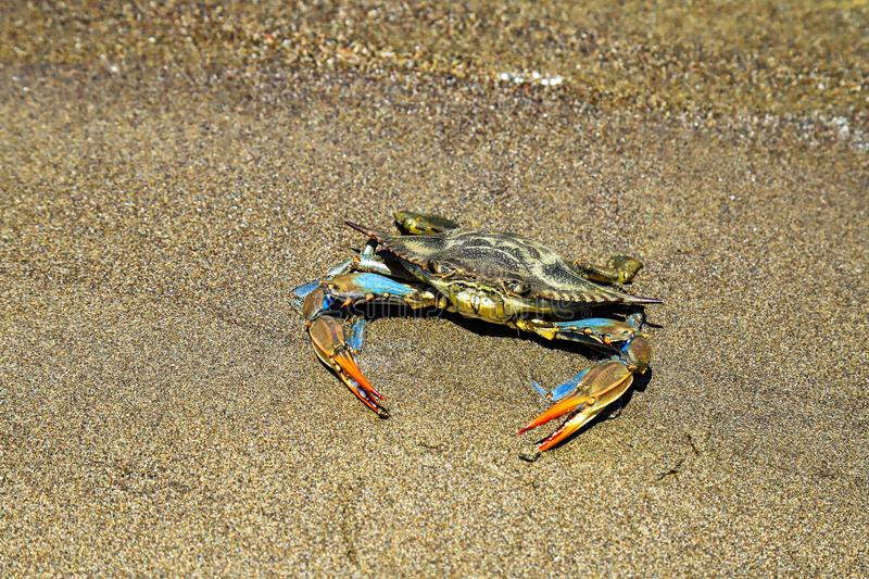 Blue crab with large claws floating in water stock images