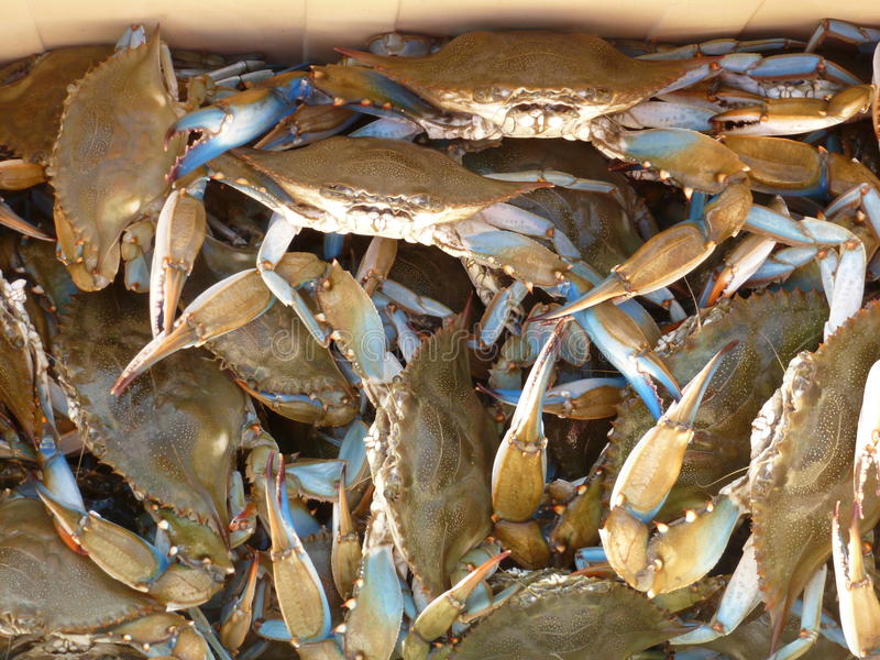 Blue Crabs stock photography