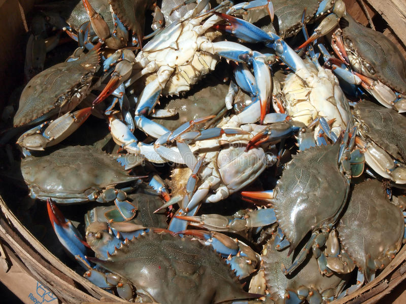 Blue crabs close up. Close up photo of a bushel basket of live blue crabs from the Chesapeake Bay of Maryland royalty free stock image