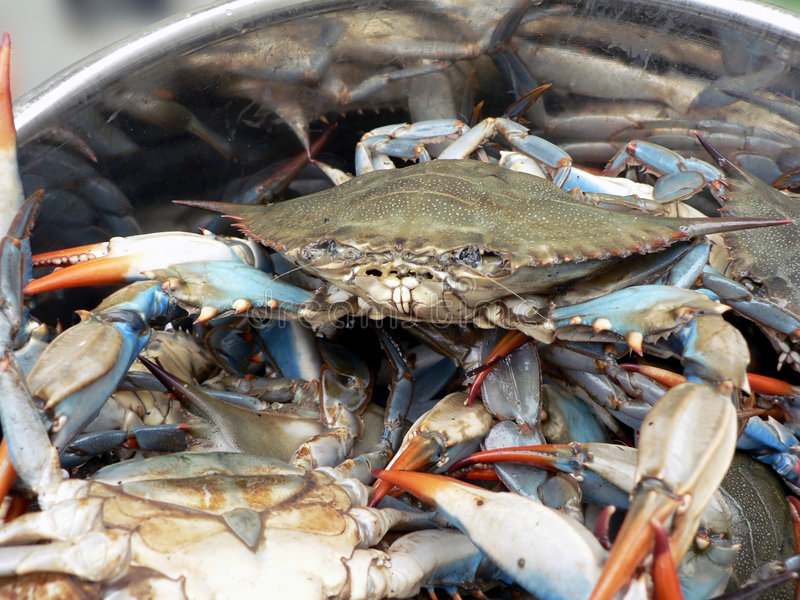 Blue crabs in pot 2. Photo of live blue crabs in a pot from the Chesapeake Bay of Maryland royalty free stock photos