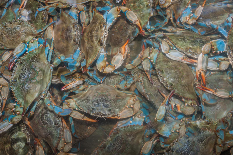 Blue Crabs. For sale at a local seafood market royalty free stock image