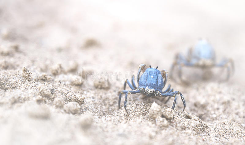 Blue crabs. Crabs at the shore of Siquior royalty free stock photography