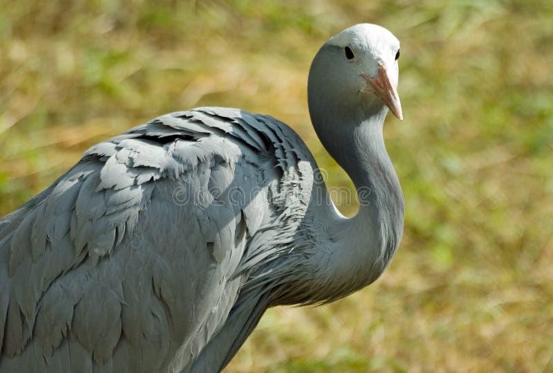 Blue crane. Portrait of a blue crane (anthropoides paradisea royalty free stock image
