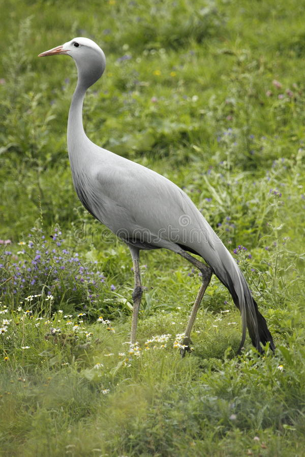 Free Blue Crane Stock Photography - 15614642