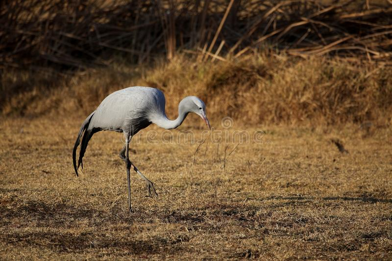 Download Blue Crane stock image. Image of crane, bird, south, searching - 26089897