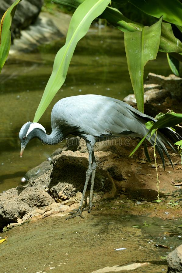 Blue crane. Latin name Grus paradisea feeding in a stream stock photos