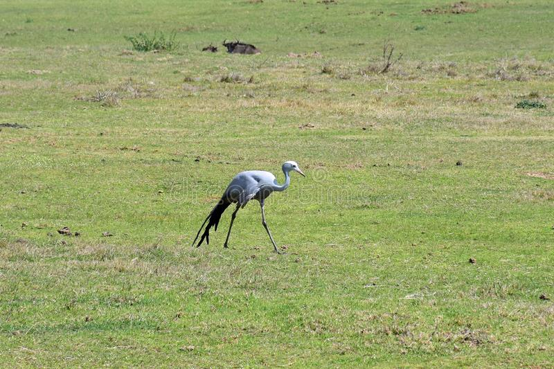 Blue Crane, Botlierskop Reserve, South Africa. Blue Crane in Botlierskop Private Game Reserve, Mossel Bay, South Africa. The Grus paradisea, also known as the royalty free stock images